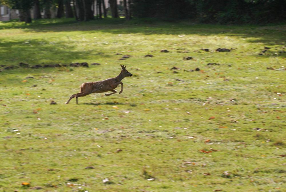 Deer spotting in Garden